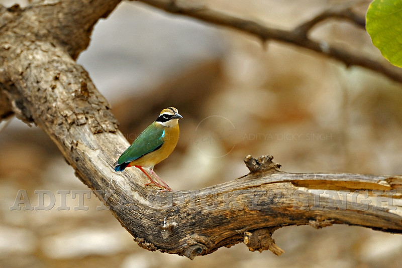 Indian Pitta (Pitta brachyura) sitting on a branch of a tree in Ranthambore national park, India