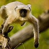 A Langur (Presbytis entellus) leaping from a branch in Ranthambhore tiger reserve
