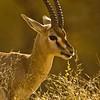 Head of a Chinkara (Gazella bennettii) or Jabeer Gazelle in Ranthambhore's dry grasslands