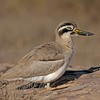 Great Thick-knee (Esacus recurvirostris) in Ranthambhore national park