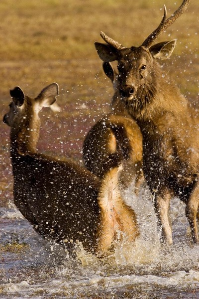 Sambar Deer (Cervus unicolor) running from a predator in a lake in Ranthambore tiger reserve