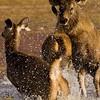 Sambar Deer (Cervus unicolor) running from a predator in a lake in Ranthambore tiger reserve