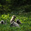 Langur monkeys foraging in in Ranthambhore national park Rajasthan