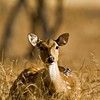 Portrait of a female Spotted or Axis deer (Axis axis) in Ranthambhore at dusk