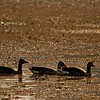 Greylag geese in Azolla covered waters of a lake in Ranthambhore tiger reserve