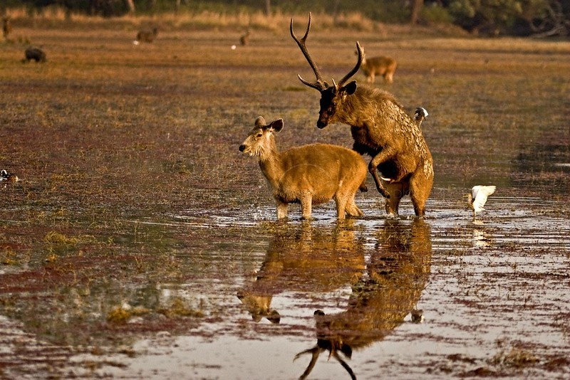 Sambar Deer (Cervus unicolor) mating in the azolla covered waters of a lake in Ranthambore tiger reserve