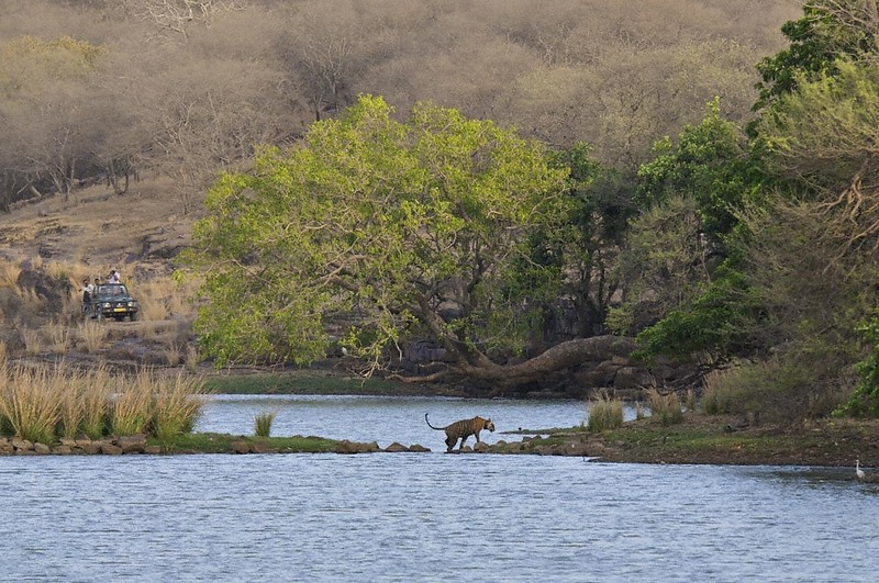 Male tiger crossing a lake in Ranthanbhore tiger reserve