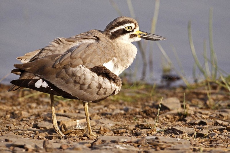 Great Thick-knee (Esacus recurvirostris) or the Great Stone plover doing the broken wing display