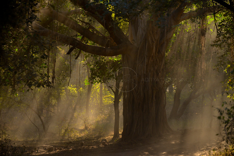 Sunlight filtering through a Banyan tree in Ranthambhore