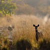 Deer in misty grasslands