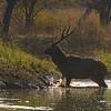 Rutting Sambar deer