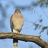 Shikra (Accipiter badius) on a branch in Ranthambhore
