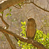 Portrait of a Brown Fish Owl perched on a tree in Ranthambore
