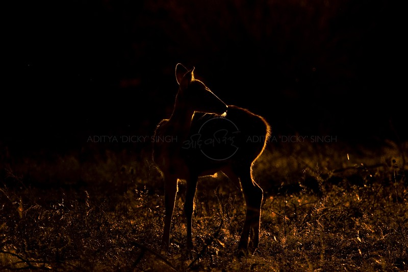 Silhouette of a Spotted deer (or Axis deer) at sunrise in Ranthambore