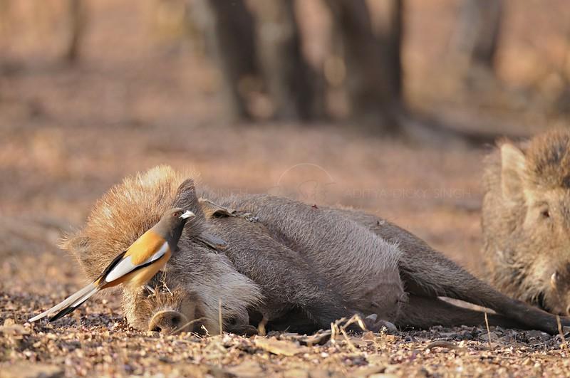 Indian treepie (Dendrocitta vagabunda parvula) sitting on a Wild boar (Sus scrofa)