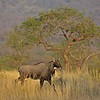 Indian antelope or Nilgai in Ranthambhore national park