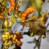 Hovering female purple sunbird looking for nectar in Rohera (Tacomella undulata) flower
