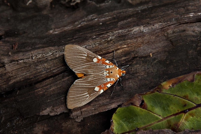 Asota ficus moth of Family Noctuidae on a tree trunk