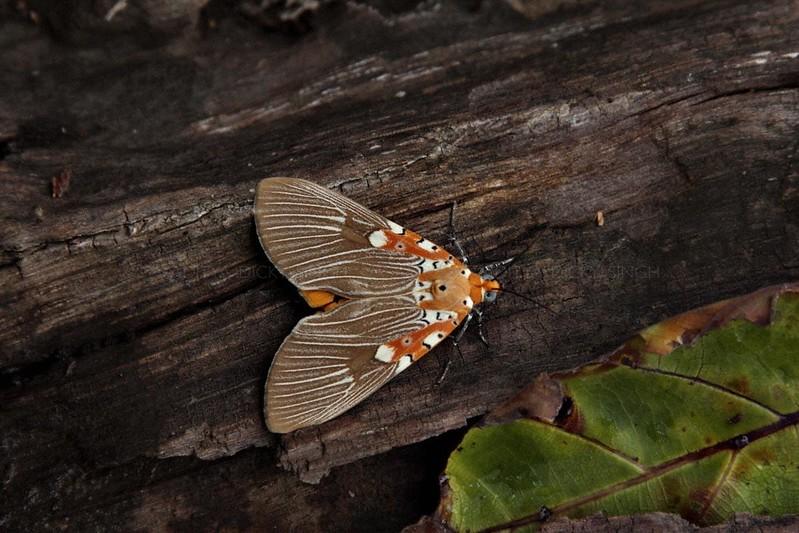 Asota ficus moth of Family Noctuidae on a tree trunk