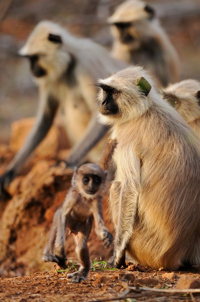A troop of Langur (Presbytis entellus) monkeys with young babies in Ranthambhore tiger reserve