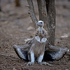 Indian Vulture (Gyps indicus) on the ground