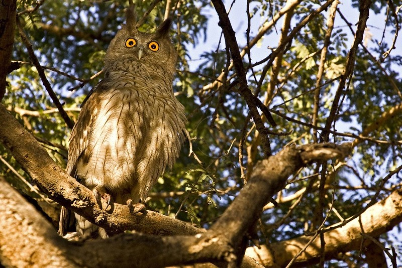 Dusky Eagle-owl (Bubo coromandus) sitting on a tree in Ranthambore national park in India