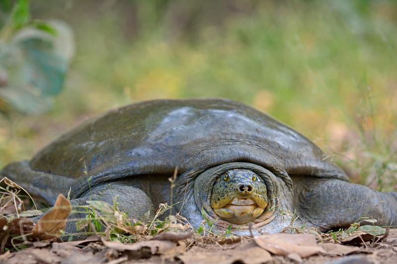 Indian softshell turtle (Nilssonia gangetica)