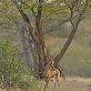 Chinkara (Gazella bennettii) or Jabeer Gazelle in Ranthambhore's dry grasslands