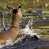 Female Sambar Deer (Cervus unicolor niger) running in a lake in Ranthambore national park
