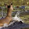 Female Sambar Deer (Cervus unicolor niger) running in a lake in Ranthambore national park