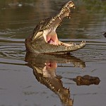Indian Marsh crocodile or Mugger with open mouth in waters of North India