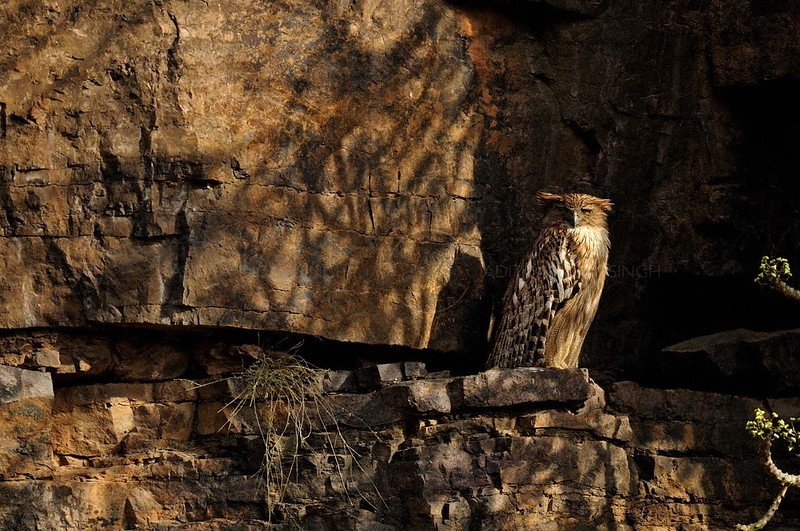 Portrait of a Brown Fish Owl perched on rocks in Ranthambore