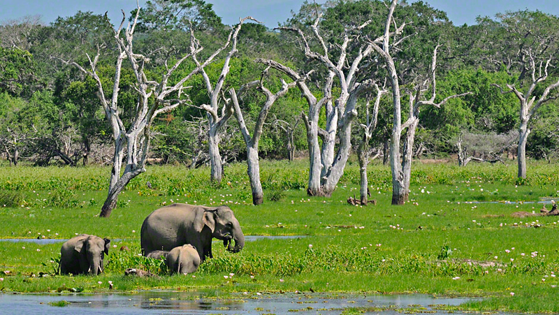 Elephant family with a young baby in a lake in Yala or Ruhuna National Park in Sri Lanka