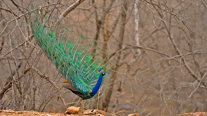 Display of the male Indian Peafowl, Pavo cristatus, in the dry summers of Ranthambhore national park, India