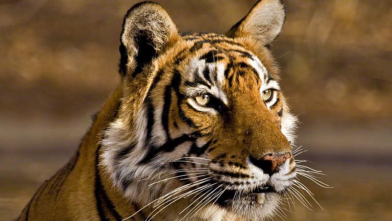 Head shot of a wild tiger in Ranthambhore national park