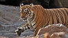Tiger in rocky terrain in Ranthambhore national park