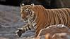 Tiger in rocky terrain in Ranthambhore national park