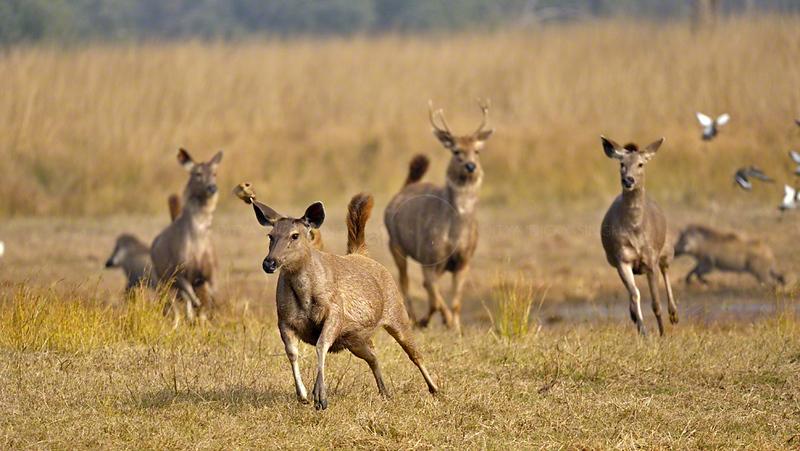 Sambar Deer (Cervus unicolor niger) running near a lake in Ranthambore national park