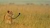 A pride of lions in rain in grasslands of Lake Nakuru national park, Kenya, Africa