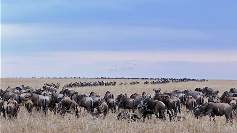 Wildebeest (or wildebeest, wildebeests or wildebai, gnu) herd crossing the grasslands in Masai Mara, Kenya, Africa