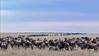 Wildebeest (or wildebeest, wildebeests or wildebai, gnu) herd crossing the grasslands in Masai Mara, Kenya, Africa