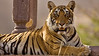 Tiger sitting in a chattri or palace in Ranthambore tiger reserve