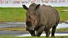 White Rhinoceros or Square-lipped rhinoceros (Ceratotherium simum) in Lake Nakuru national park