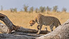 Cheetah on a fallen dead tree in the grasslands of Masai Mara in Kenya, Africa