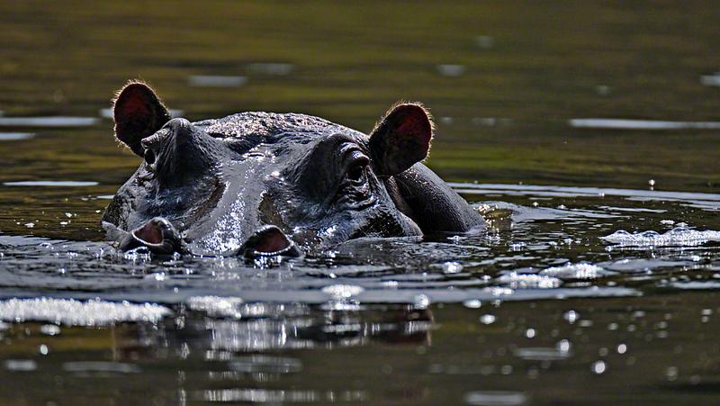 Head of a  hippopotamus (Hippopotamus amphibius), or hippo in a river in Masai Mara, Kenya