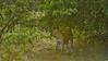 Backlit Leopard in Yala national park, Sri Lanka