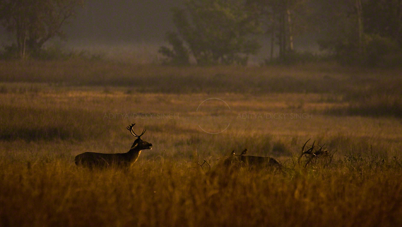 Male Hard ground swamp deer (or Barasinga) in Kanha national park