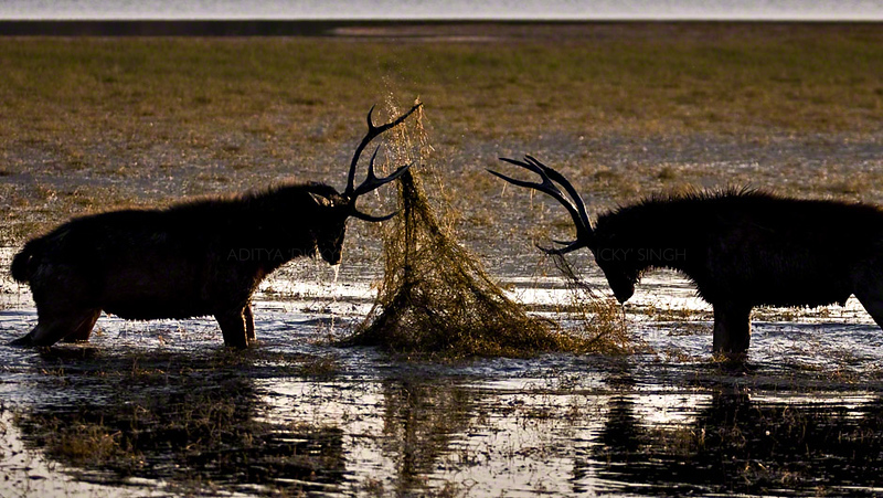 Two male Sambar deer sparring in a lake in Ranthambhore
