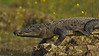 Indian Marsh crocodile running in to the water in Chambal river