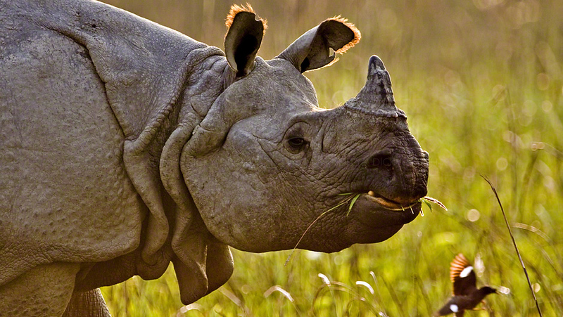 Asian one horned Rhino in Kaziranga national park in the north east Indian state of Assam